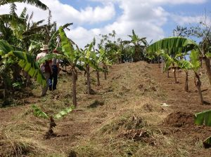 """Grass and other """"weeds"""" laid between rows of bananas."""