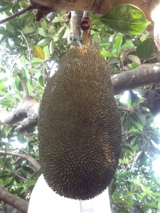"A young jackfruit, about 18"" long - not yet ripe"