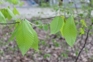 Fresh beech leaves