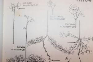 Swollen Bladderwort