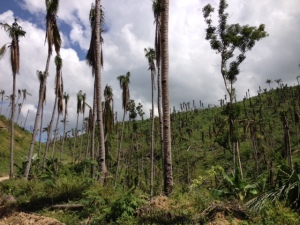 Coconut palms stripped of their crowns - and new leaves emerging