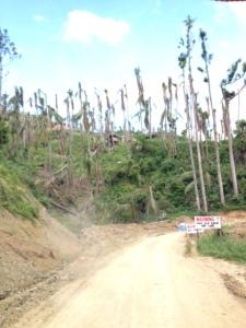 Damaged coconut palms