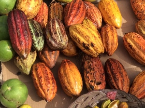 Cacao in many colors