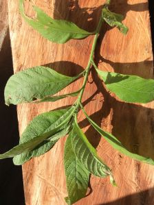 Alibhon - Blumea balsamifera