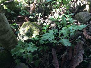 Artamisa - Artemisia vulgaris - wormwood