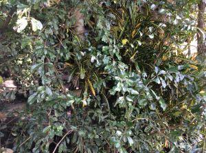 Tsaang gubat - Ehretia microphylla