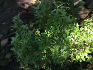 Kalooy - Ocimum tenuiflorum - holy basil - not used here for cooking