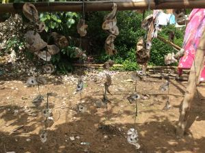 Oysters are cultivated in the nearby ocean.   They attach themselves to these strings of shells hung from bamboo poles.