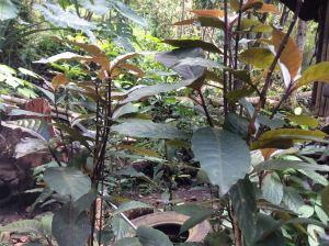 Pasaw - Pseuderanthemum reticulatum
