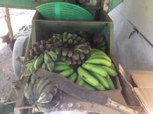 """The """"saba"""" banana, best cooked"""
