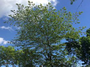 """Sarisa"" or strawberry tree, Muntingia calabura"
