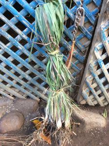 Tanglad - lemon grass