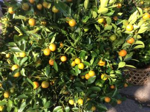 Kumquats are a traditional Têt plant in both north and south.