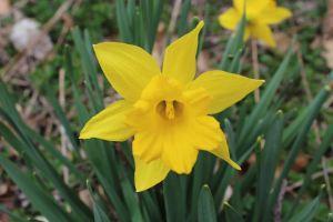Daffodil in Chesham