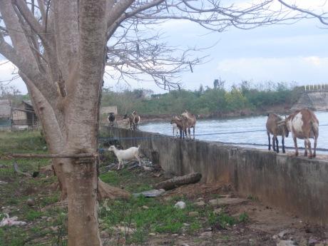 Goats at PFAC
