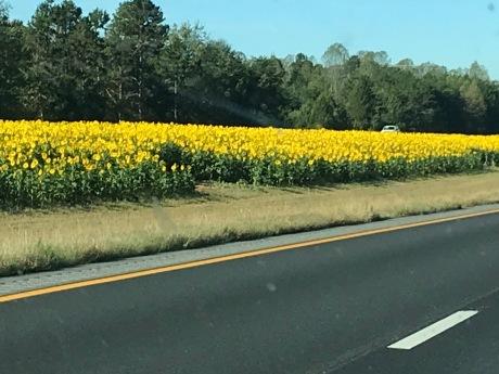 SunflowersNC