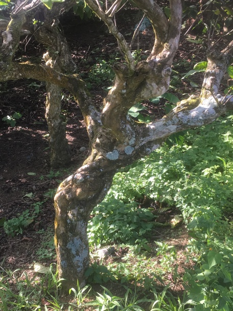 The twisting trunk of the coffee tree