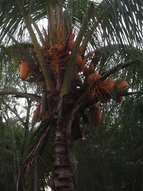 Cocos nucifera - Palmae/Areca   Coconut, niyog