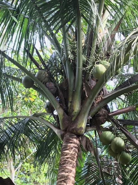 Cocos nucifera - Palmae   Coconut, niyog