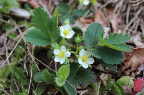 Wild strawberry - Fragaria virginiana   Rosa - Rose